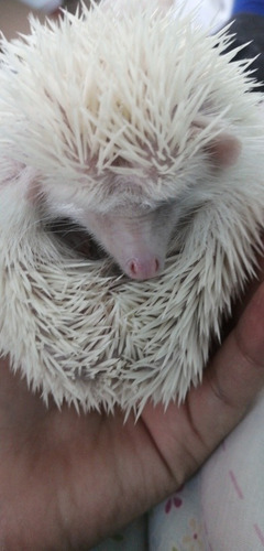 eriza albina