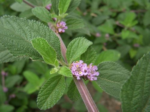 erva cidreira de arbusto lippia alba  30 sementes para mudas