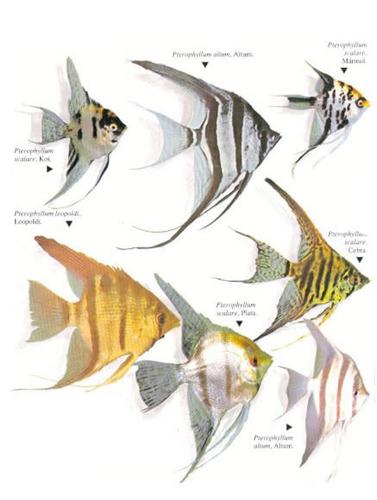 escalar mediano,!!!!!! surtido oferta elegi mundo acuatico