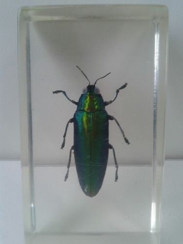escarabajo verde de malasia en cápsula de acrílico