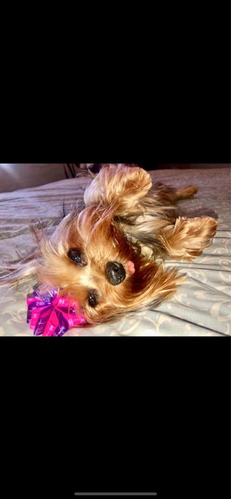 espectacular yorkshire terrier machito mini