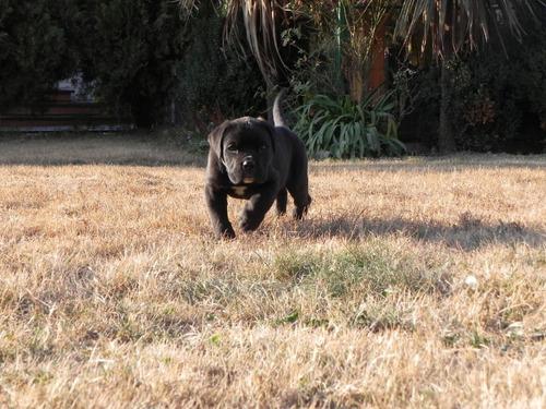espectaculares cachorros cane corso