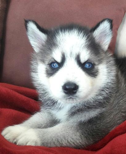 espectaculares cachorros husky siberiano seleccionados a1