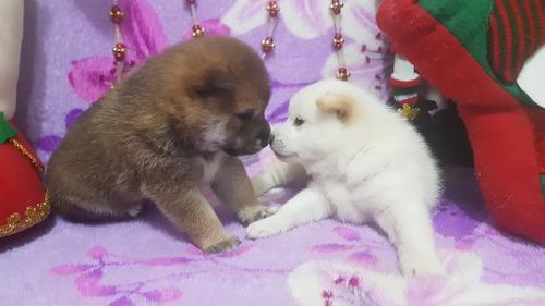 espectaculares shiba inu de rk puppies !!