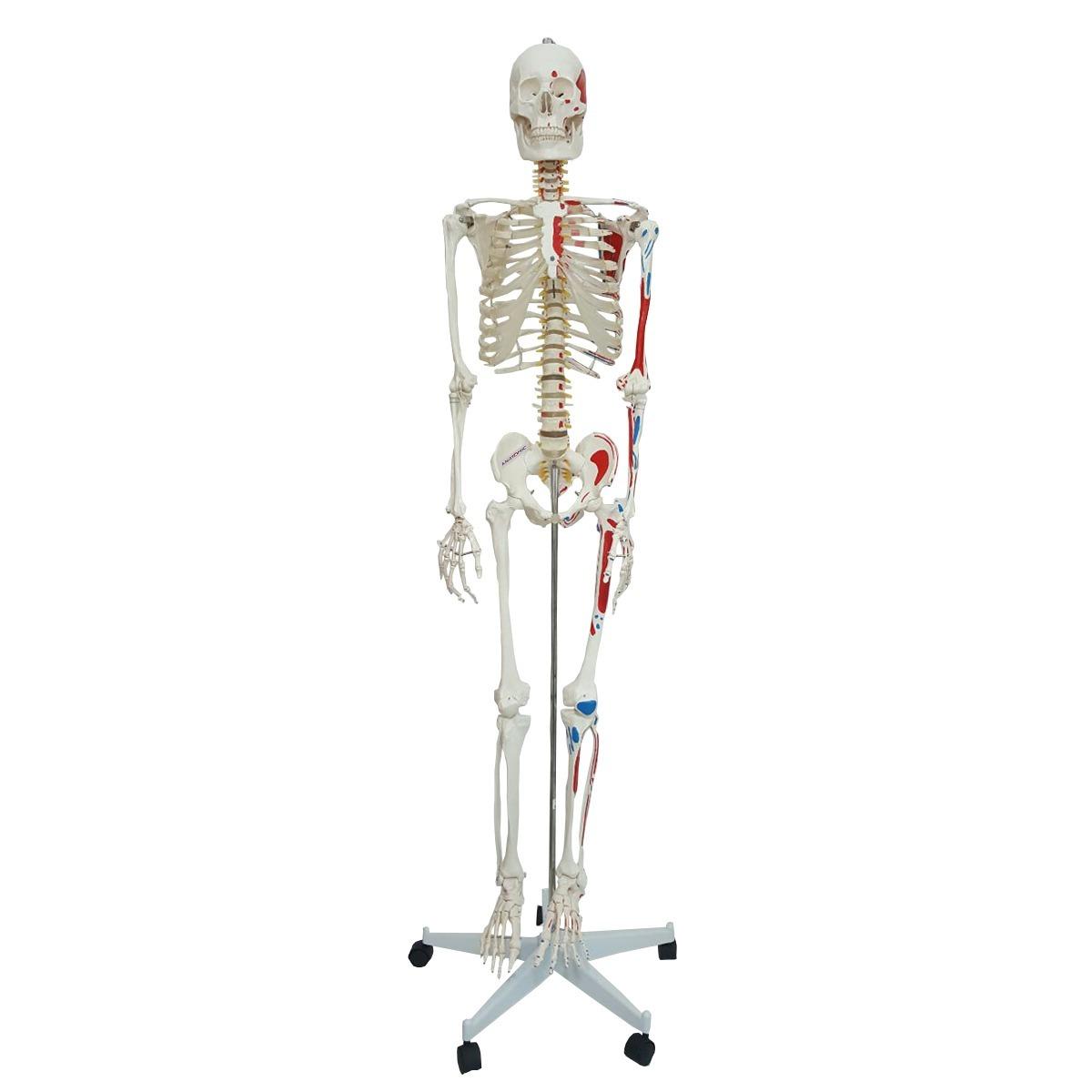 Bonito Skelton Humana Elaboración - Anatomía de Las Imágenesdel ...