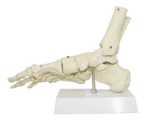 esqueleto do pé / modelo anatômico humano