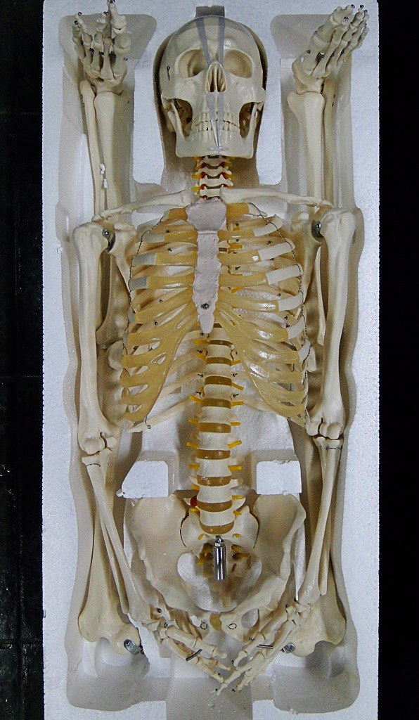 Asombroso Esqueleto Marcado Composición - Anatomía de Las ...