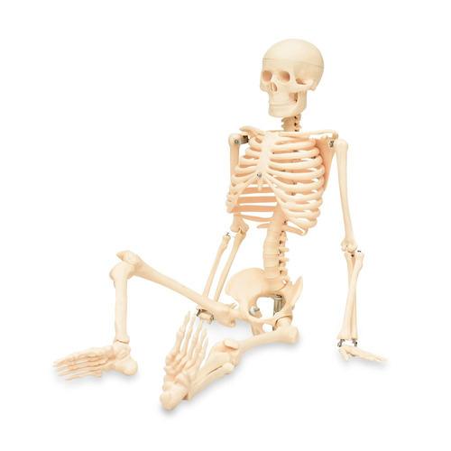 esqueleto humano 85cm modelo anatómico educativo zeigen