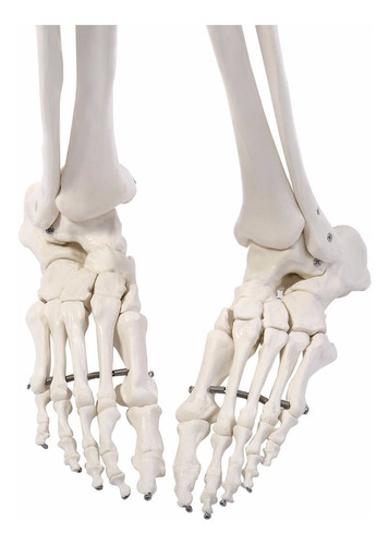 esqueleto humano adulto modelo anatómico tamaño real 1.8 m