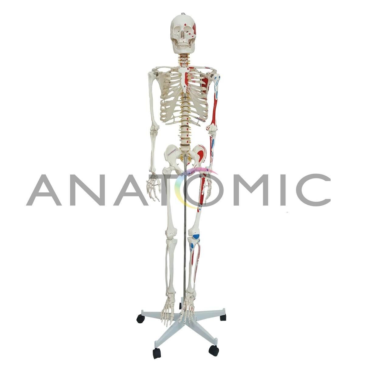 Moderno Diagrama De Músculo Humano Marcado Molde - Anatomía de Las ...