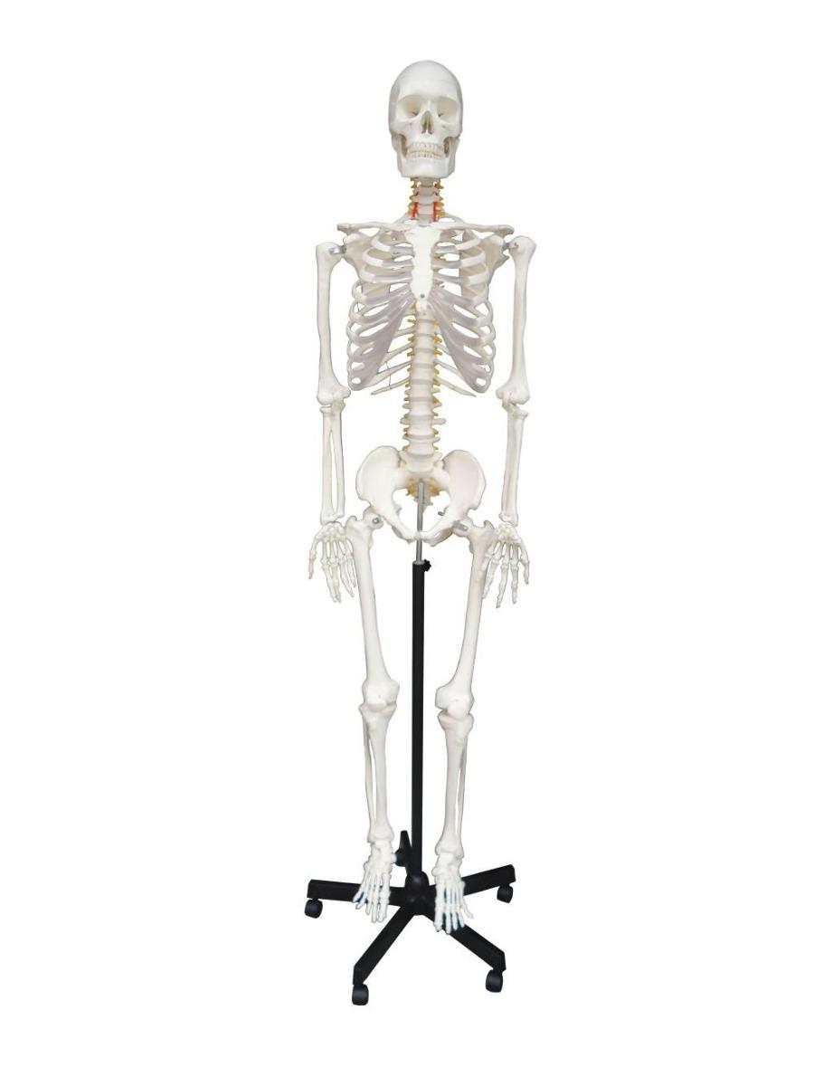 Esqueleto Humano Con Soporte Flexible Anatomía Medico 170cm ...