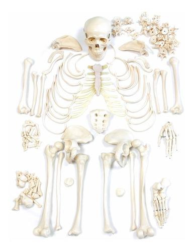 esqueleto humano desarticulado - anatomia
