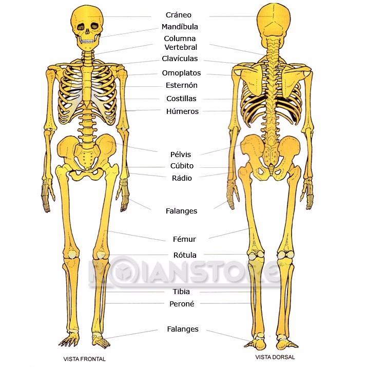 Esqueleto Humano Educativo Con Base Y Soporte 42 Cm - $ 29.850 en ...