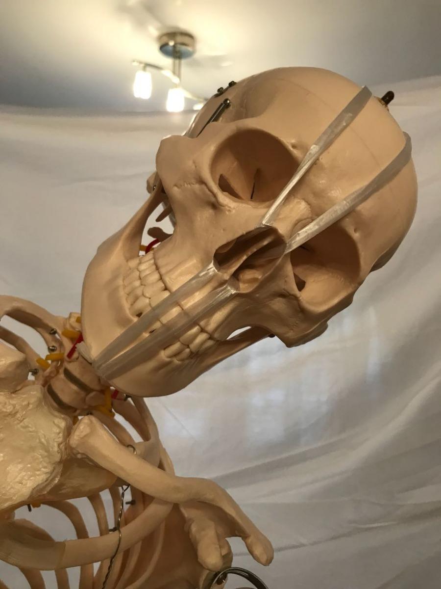 Esqueleto Humano Flexible Ligamentos Tamaño 170cm Novedad - $ 11.999 ...