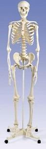 esqueleto humano, material didactico para enseñanza, ysb035
