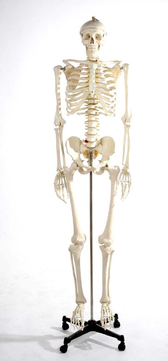 Esqueleto Humano Modelo Anatomico 1.8 Metros - $ 4,180.00 en Mercado ...