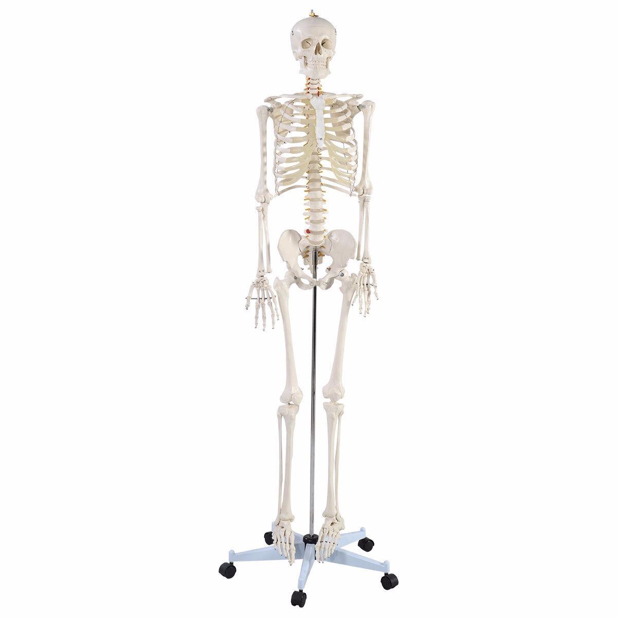 Moderno Diagrama De Esqueleto Cuerpo Humano Marcado Bosquejo ...