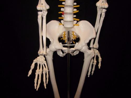 esqueleto humano, modelo anatómico 85 cm