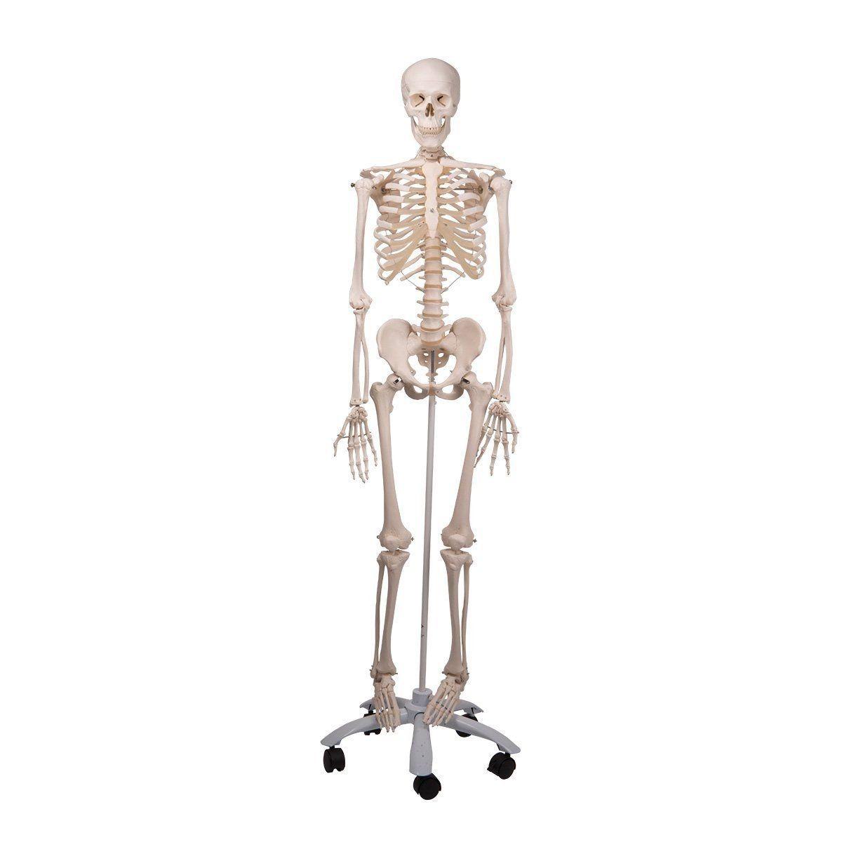 Esqueleto Humano Modelo Anatómico Tamaño Real 1,70 Mts - $ 9.590,00 ...