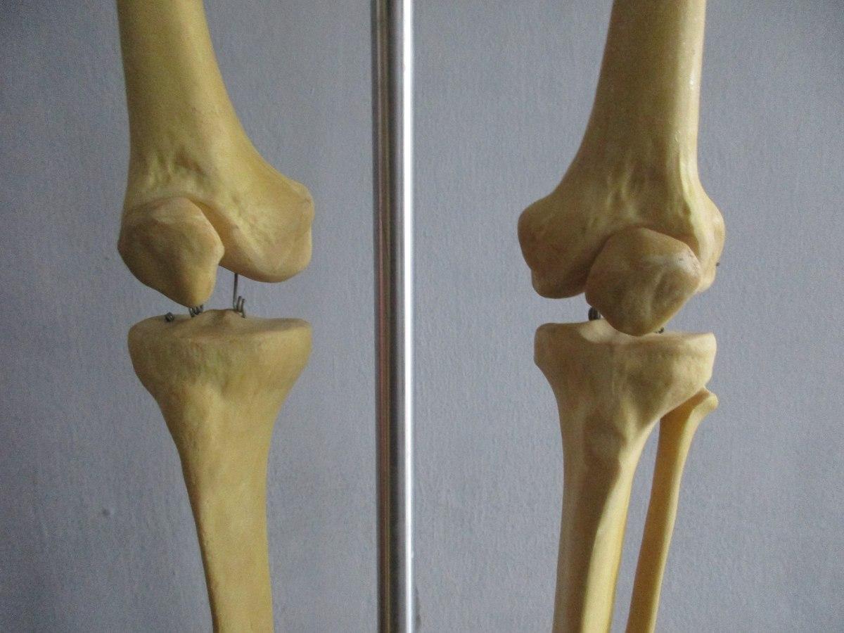Esqueleto Humano Pelvis Y Miembros Inferiores Hasta Los Piés ...