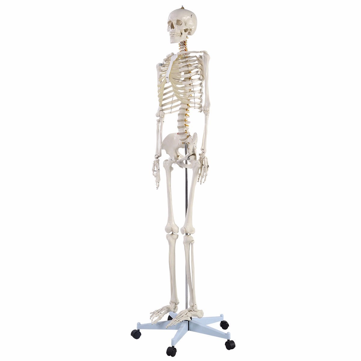 Esqueleto Humano Tamaño Natural Anatomía Huesos Calavera Est ...