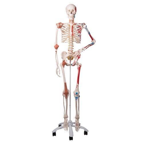 Esqueleto Humano Tsm Con Músculos Y Ligamentos De Colores ...