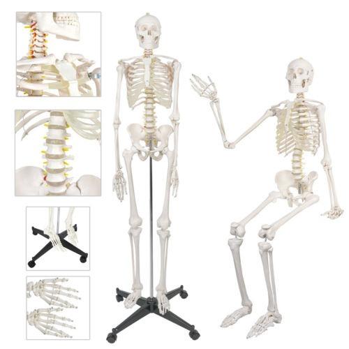Esqueleto Para Estudio De Anatomía Y Ciencias 1.8m - $ 212.990 en ...