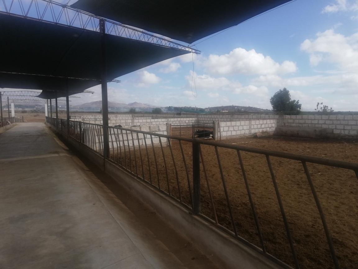 establo para vacas, toros