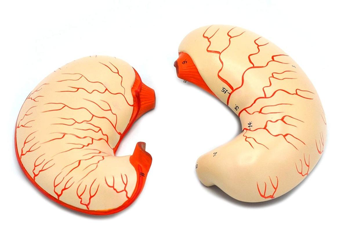 Estómago Humano Bisección Modelo - Size Life - Eisco Laborat ...