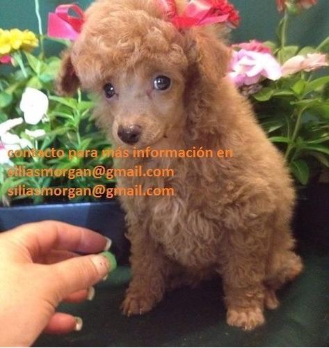 estos hermosos cachorros de caniche son tan pequeños y lindo