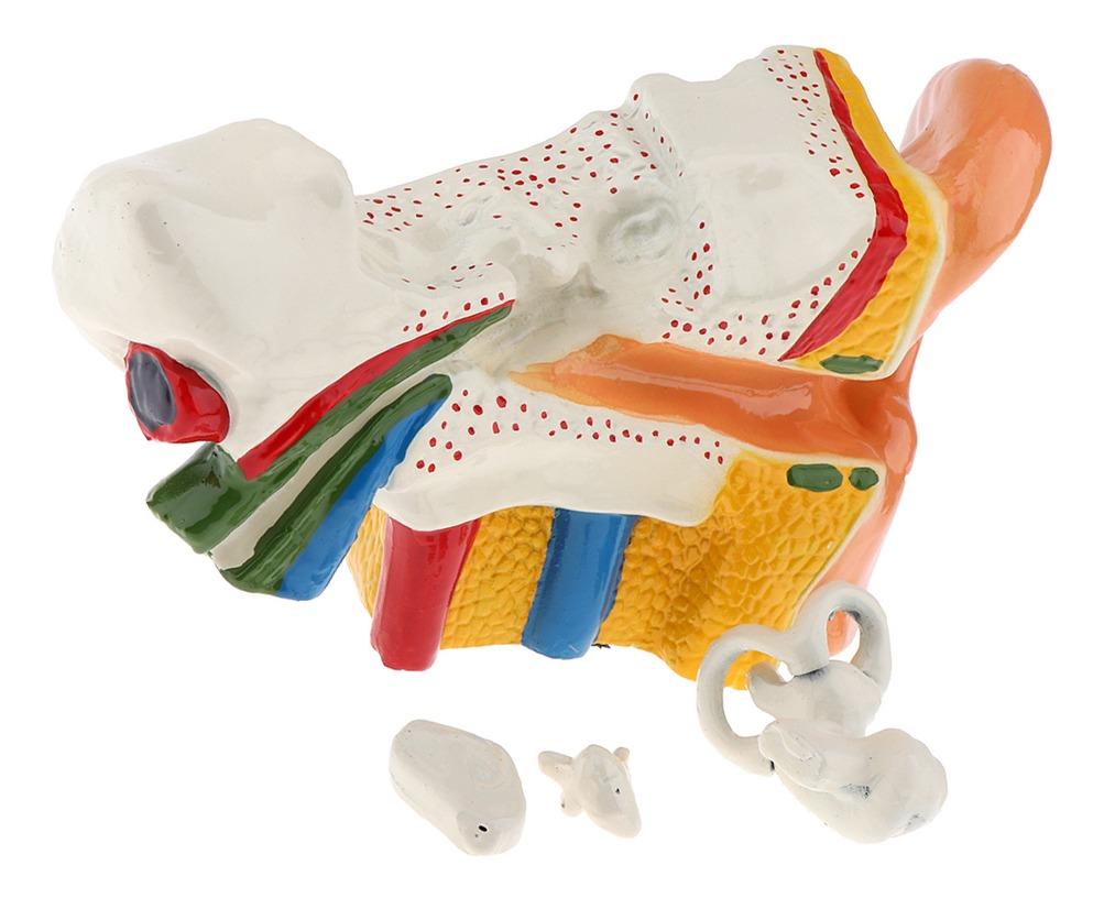 Estructura De Oído Humano Modelo Realista De Anatomía