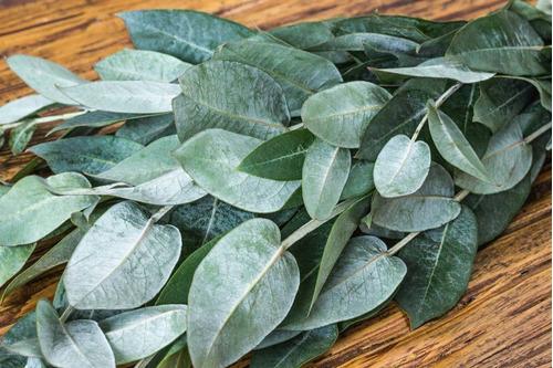 eucalipto medicinal (300 hojas)