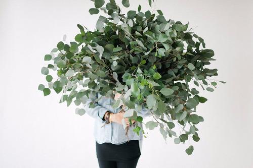 eucalipto prateado argentino cinerea árvore bonsai sementes