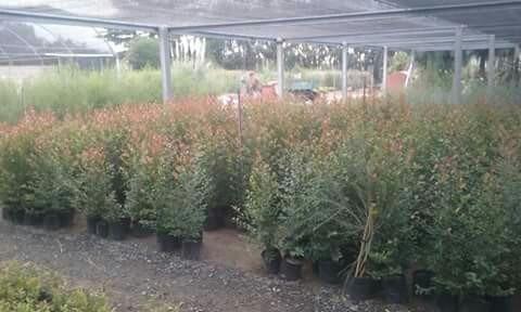 eugenia myrtofolia 1m aprox.vivero candela,productor