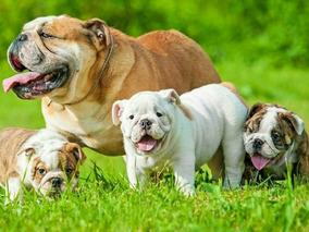 Excelentes Hembras Bulldog Cachorros Machos Ingles Y doeCxBr