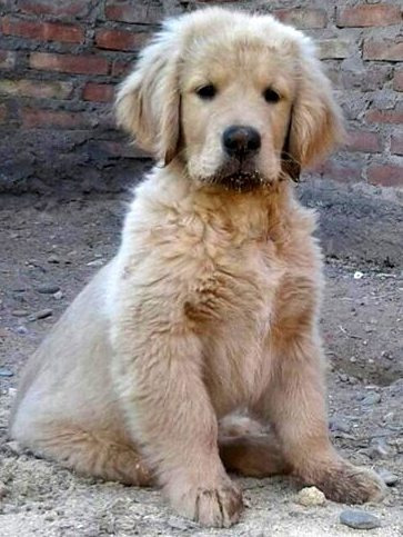excelentes cachorros de goldens retrievers con pedigree fca.