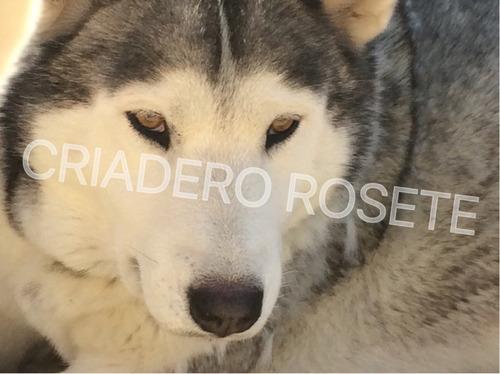 excelentes cachorros husky siberiano de criadero