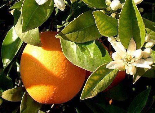 excelentes mudas de laranja bahia