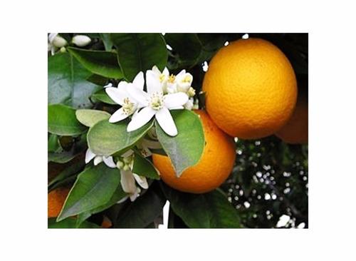 excelentes mudas de laranja campista