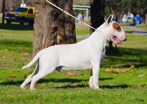 exelente macho bull terrier en servicio de stud