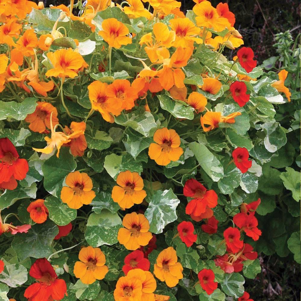 Exóticas Flores Enredaderas Nasturtium Pájaro De Fuego Bs 004