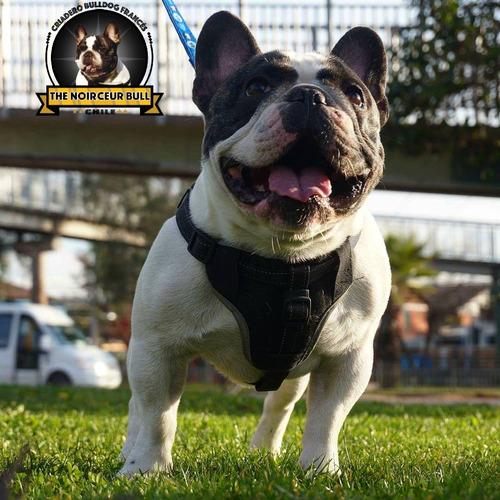 expectacular macho  bulldog frances servicio stud