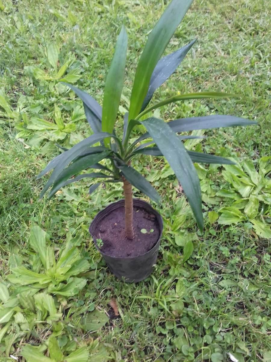 Plantas de interior o exterior palmera dracenas 190 00 - Palmeras plantas exterior ...