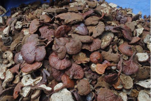 extracto de ganoderma (reishi) selvática peruana. 50ml