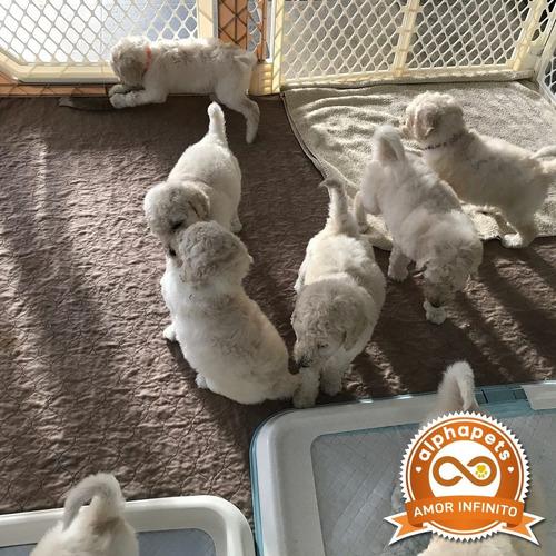 extraordinarios cachorros poodle exclusivos peru