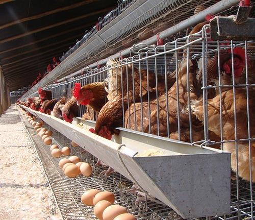 fabrica de jaulas de gallinas ponedoras por encargo