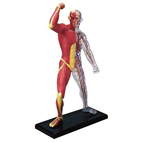 Famemaster 4d-vision Muscular Humano Y Esqueleto Anatomía M ...