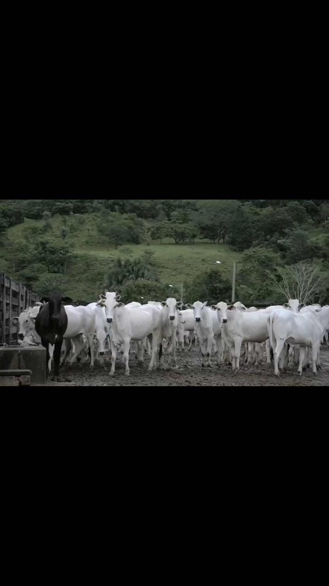 fazenda tope 300 alqueires município de goianesia