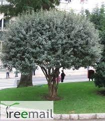 feijoa - acca sellowiana - precio unico! las mejores