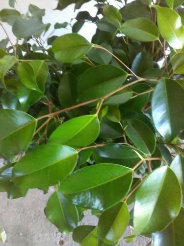 ficus arboles plantas interior y exterior